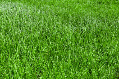 Photo for Green grass seamless texture.  grass background.  Beautiful green grass - Royalty Free Image