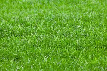 Photo pour Background of a green grass. Green grass texture - image libre de droit