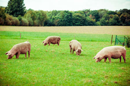 Foto de Pig farm.  pigs in field. Healthy pig on meadow - Imagen libre de derechos