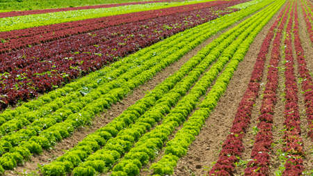 vegetable cultivation farm. cultivation of green salad
