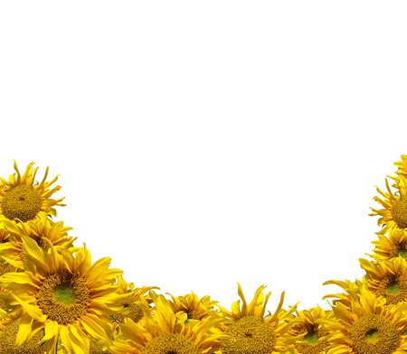 Beautiful frame of colorful yellow sunflowers isolate on white