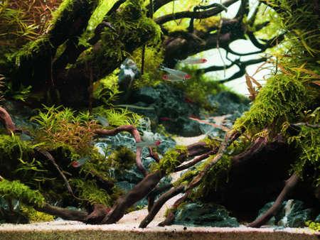 Photo pour Still life close up of beautiful tropical aqua scape, Nature Aquarium green plant an tropical colorful fish in aquarium fish tank. - image libre de droit
