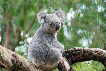 Photo pour Koala relaxing in a tree in Perth, Australia. - image libre de droit