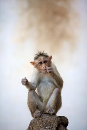 Baby monkey sitting on a rock