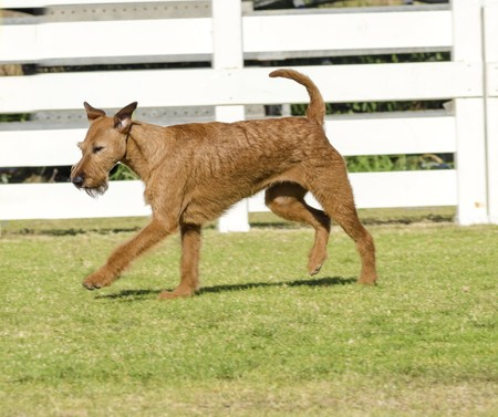 Photo pour A profile view of a young, beautiful, red, tan Irish Terrier walking on the grass. The Irish red terrier is a medium sized dog, has small v shaped folding ears and thick, wiry golden wheaten coat and long whiskers and bearded muzzle. - image libre de droit