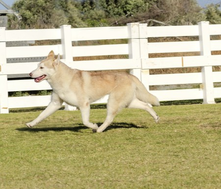 A profile view of a young beautiful copper red fawn and white Siberian Husky dog running, known for their amazing endurance and willingness to work.They look like wolves.