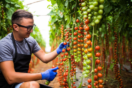 Foto de Young man with cherry tomatoes in greenhouse Agriculture - Imagen libre de derechos