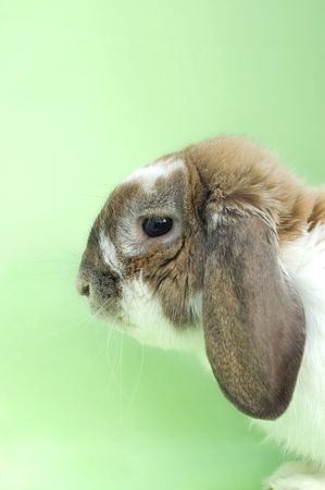 Little rabbit portrait with floppy ears sitting isolated on green background