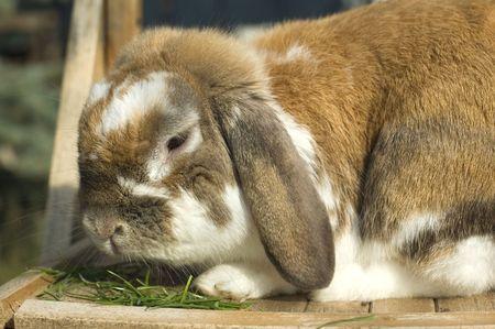 Little rabbit portrait with floppy ears eating grass
