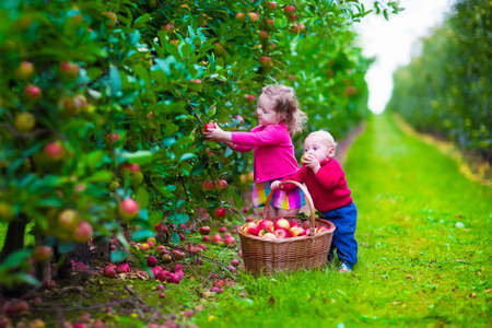 Photo pour Child picking apples on a farm in autumn. Little girl and boy play in apple tree orchard. Kids pick fruit in a basket. Toddler and baby eat fruits at fall harvest. Outdoor fun for children. - image libre de droit
