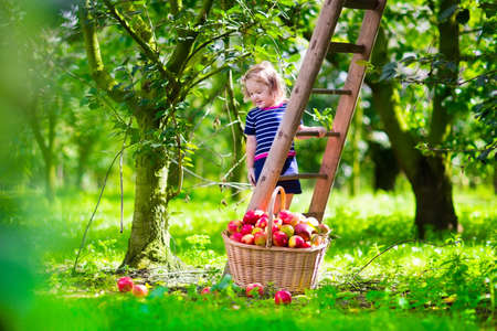Photo for Child picking apples on a farm climbing a ladder. Little girl playing in apple tree orchard. Kids pick organic fruit in a basket. Kid eating healthy fruits at fall harvest. Outdoor fun for children. - Royalty Free Image