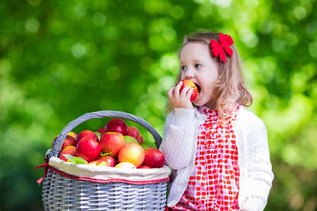 Photo for Child picking apples on a farm in autumn. Little girl playing in apple tree orchard. Kids pick fruit in a basket. Toddler eating fruits at fall harvest. Outdoor fun for children. Healthy nutrition. - Royalty Free Image