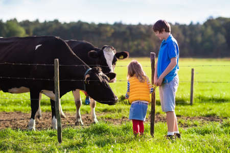 Photo pour Happy kids feeding cows on a farm. Little girl and school age boy feed cow on a country field in summer. Farmer children play with animals. Child and animal friendship. Family fun in the countryside. - image libre de droit