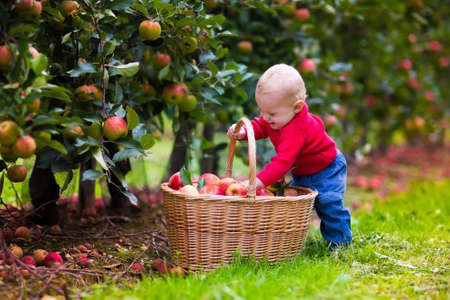 Foto de Adorable baby boy picking fresh ripe apples in fruit orchard. Children pick fruits from apple tree. Family fun during harvest time on a farm. Kids playing in autumn garden. Child eating healthy fruit. - Imagen libre de derechos