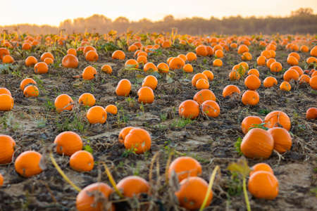 Photo pour Beautiful pumpkin field in Germany, Europe. Halloween pumpkins on farm. Pumpkin patch on a sunny autumn morning during Thanksgiving time. Organic vegetable farming. Harvest season in October. - image libre de droit