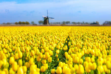 Photo for Tulip fields and windmill in Holland, Netherlands. Blooming flower fields with red and yellow tulips in Dutch countryside. Traditional landscape with colorful flowers and windmills. - Royalty Free Image