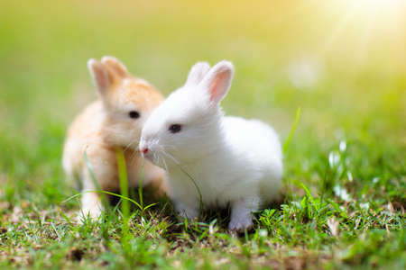 Photo pour Baby rabbit eating grass outdoor on sunny summer day. Easter bunny in garden. Home pet for kid. Cute pets and animals for family with children. - image libre de droit