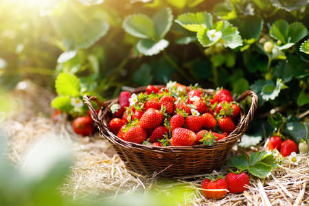 Foto de Strawberry field on fruit farm. Fresh ripe organic strawberry in white basket next to strawberries bed on pick your own berry plantation. - Imagen libre de derechos