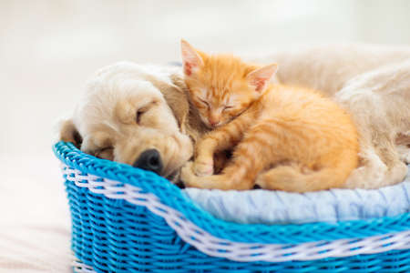 Photo pour Child playing with baby dog and cat. Kids play with puppy and kitten. Little boy and American cocker spaniel on bed at home. Children and pets at home. Kid taking nap with pet. Animal care. - image libre de droit