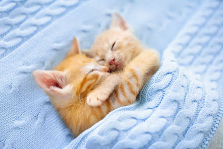 Foto de Baby cat sleeping. Ginger kitten on couch under knitted blanket. Two cats cuddling and hugging. Domestic animal. Sleep and cozy nap time. Home pet. Young kittens. Cute funny cats at home. - Imagen libre de derechos