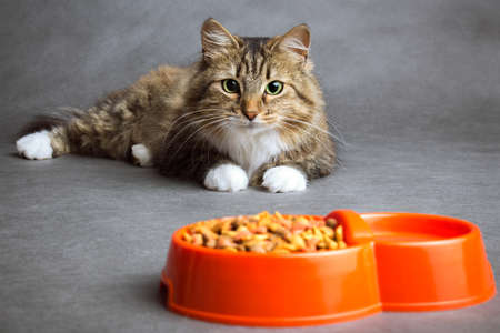 Foto de Portrait of a beautiful fluffy domestic cat that looks with interest at the bowl full of dry food on a gray background - Imagen libre de derechos