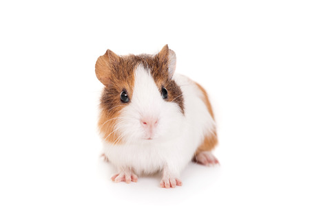 Photo for Guinea pig baby  - Royalty Free Image