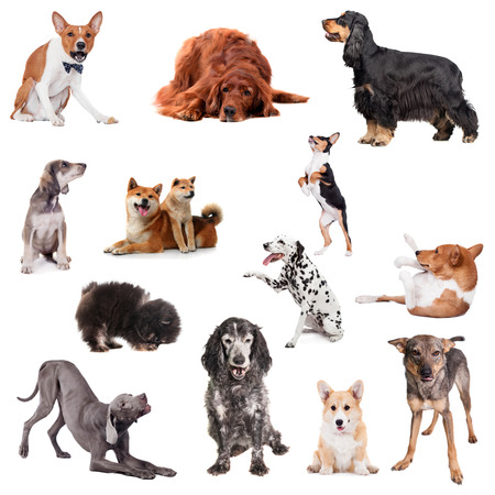 Set of playing different breeds of dogs, isolated on white