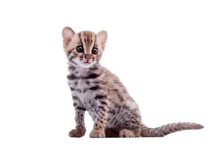 Photo pour The asian leopard cat on white - image libre de droit