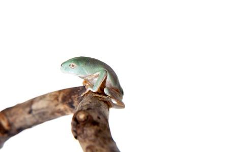Tarsier Monkey Frog on white
