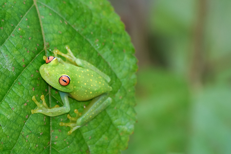 Photo for Glass frog on leaf - Royalty Free Image