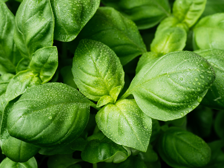 Photo for fresh basil leaves. Basil plant with green leaves. Copy space. - Royalty Free Image