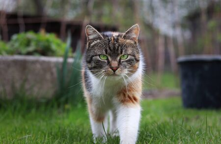 Foto per Triumphant arrival of a domestic cat to our garden. Magical and noble look by kitten. colourful body and white, grey and black head. Queen of cats - Immagine Royalty Free