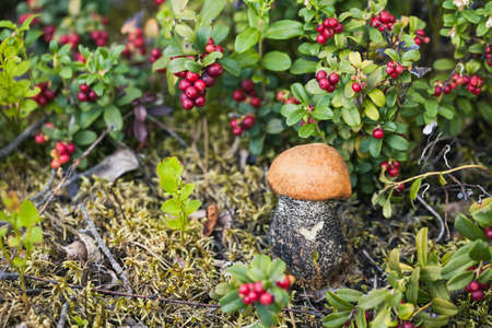 Photo for Macro photo of orange-cap boletus on wooden backfround. Wild mushroom.  Leccinum aurantiacum. - Royalty Free Image