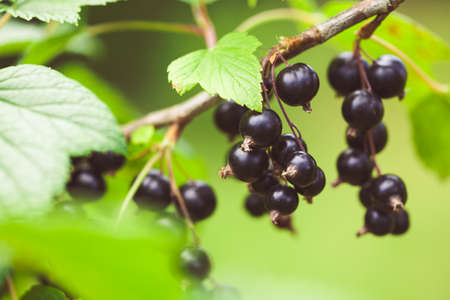 Photo for Closeup of black currant growing naturally. Berry in the garden - cultivation and gardening illustration. - Royalty Free Image