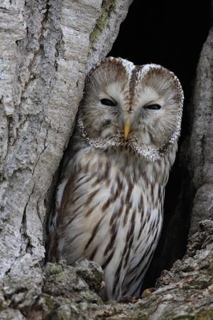 Photo for Ural owl (Strix uralensis japonica) in Hokkaido, Japan - Royalty Free Image