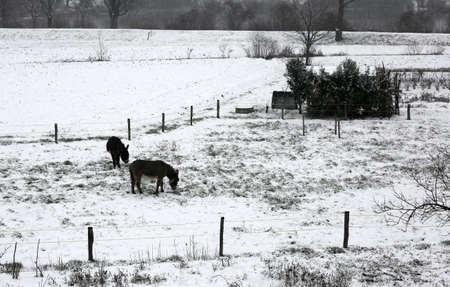 Foto de two shivering donkeys graze the little grass that comes out of the snow on the frozen ground in winter - Imagen libre de derechos