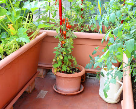 Foto de potted plant with red tomatoes in a small urban garden on the terrace apartment - Imagen libre de derechos