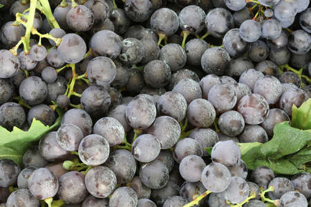 Photo for background of many red grapes to make red wine - Royalty Free Image