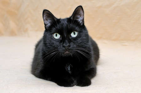 Photo pour Cute black cat snugly lying on a plaid stretching its paws and looking at the camera. - image libre de droit