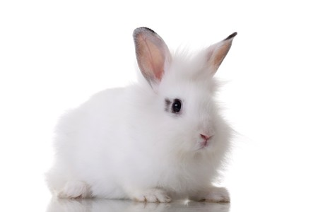 picture of a little rabbit standing on white background