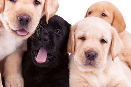 closeup of four little labrador retriever puppies looking at the camera