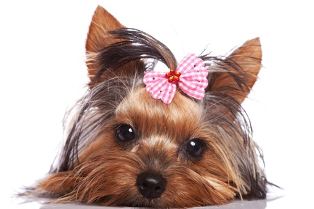 cute yorkshire terrier puppy dog looking a little sad and sleepy on white background