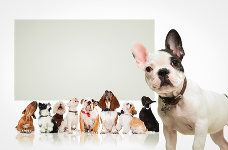 Foto de black and white french bulldog puppy  standing in front of a large group of dogs , all looking up at a big blank billboard - Imagen libre de derechos
