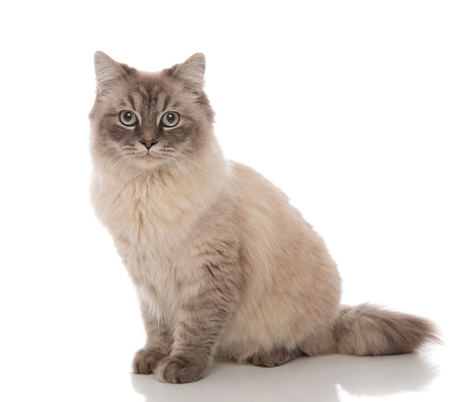 Photo pour adorable grey cat with blue eyes sitting on a white background - image libre de droit