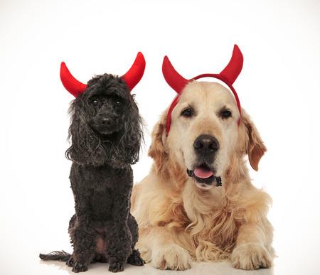 cute poodle and golden labrador retriever posing as devils for halloween