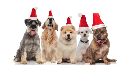 adorable group of five santa dogs of different breeds sitting on white background