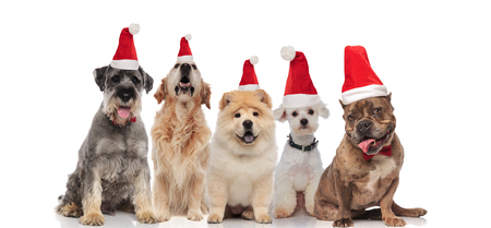 group of five dogs of different breeds wearing santa hats panting while sitting on white background
