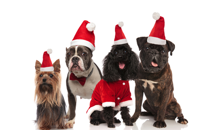 four adorable dogs wearing santa costume and red bowtie sitting and standing on white background