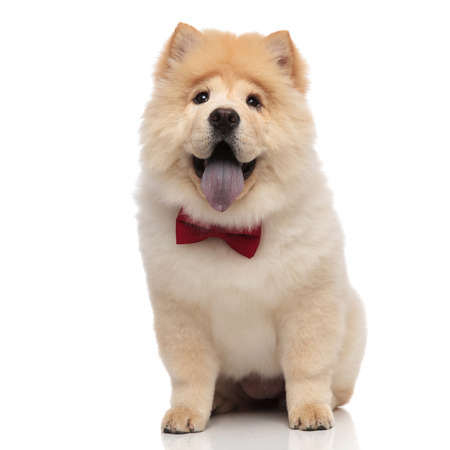 Foto de gentleman chow chow sitting on white background and looking excited while panting - Imagen libre de derechos