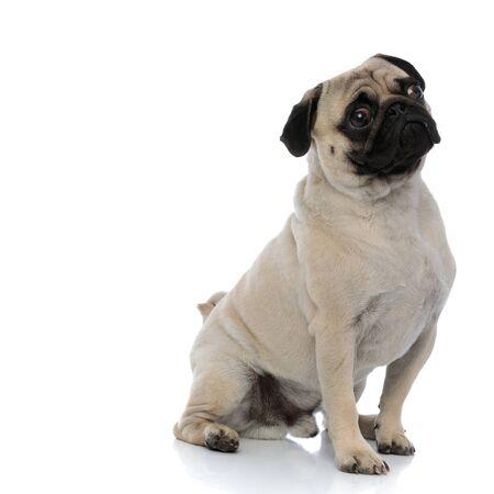 Foto de Concerned pug looking away while sitting on white studio background - Imagen libre de derechos